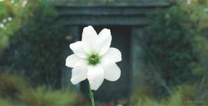 simbelmyneflower