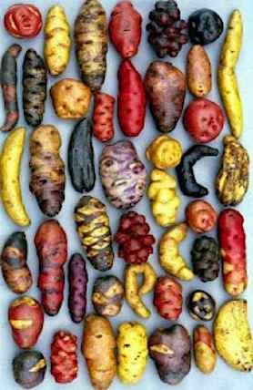 Potatoes_Peruvian_varieties