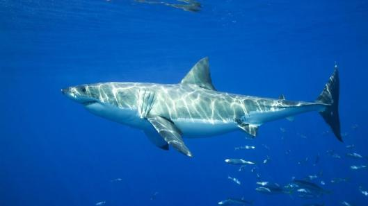 great-white-shark-swimming-blue.jpg.adapt.945.1.jpg